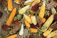 Photo of a small farmer's harvest         of maize, sorghum and millet in Luo-land, Kenya.