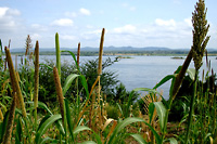 Photo of millet and sorghum field         on the bank of the Zambezi River, Mozambique.